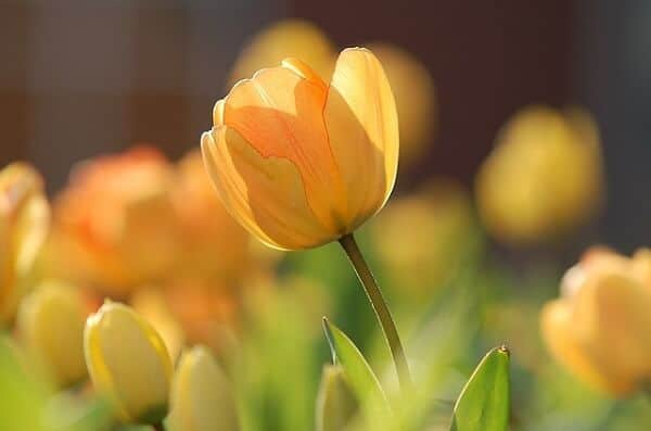 tulip, how to grow tulips
