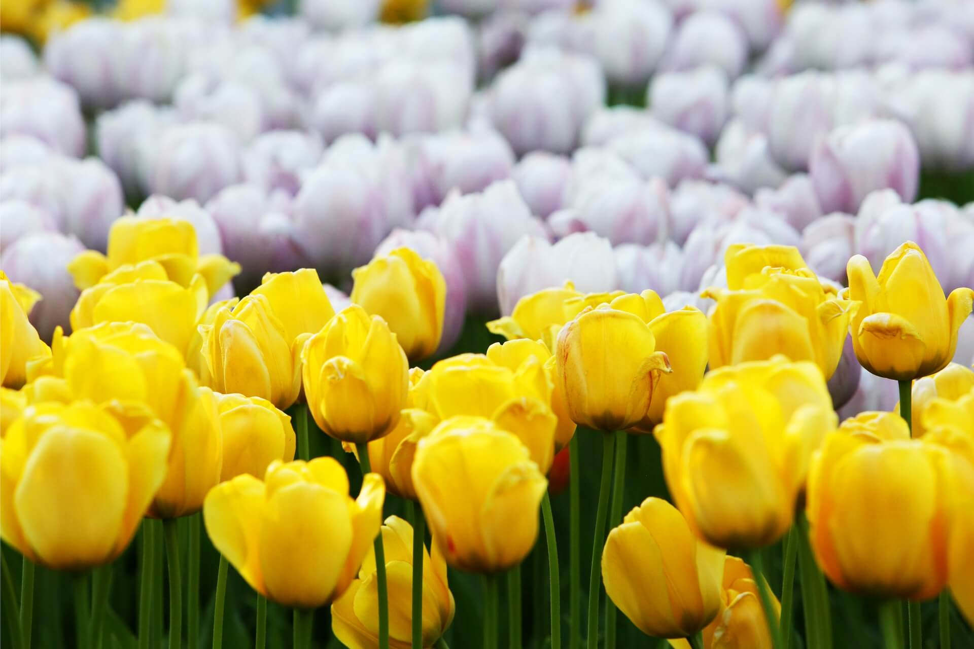 How To Grow Tulips Bulb Planting To Flower Care