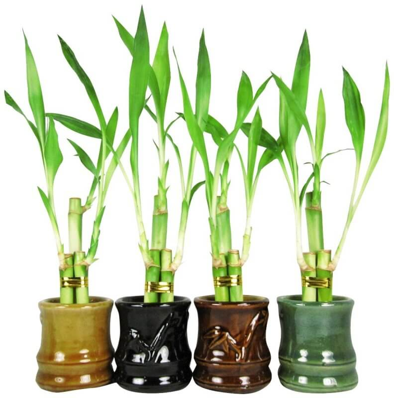 three pots with bamboo plants