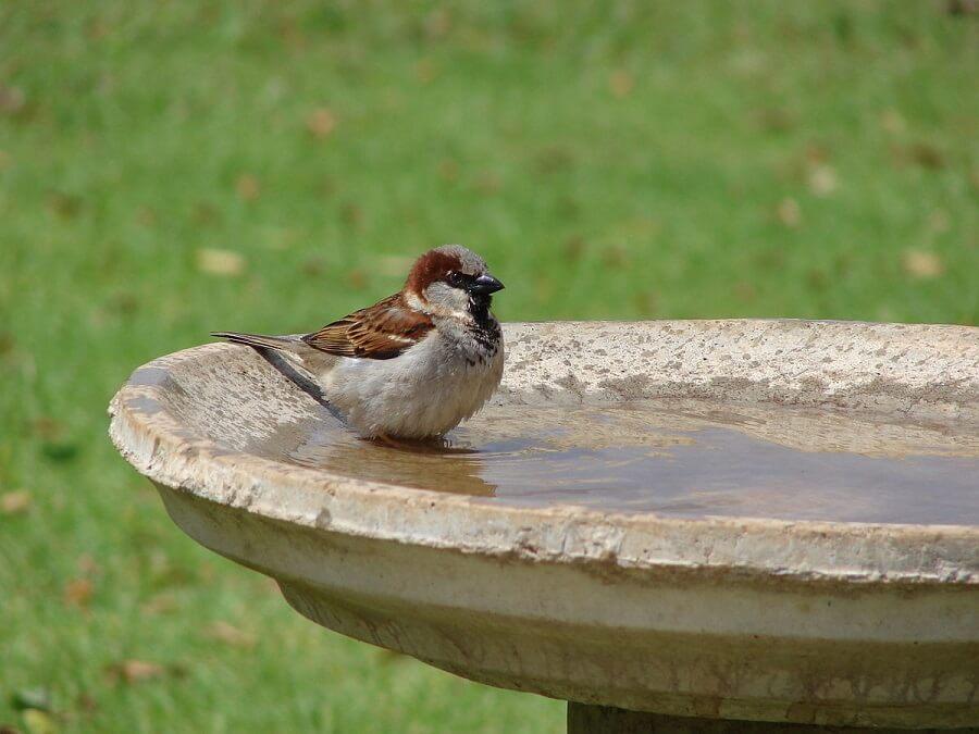 bird in a bird bath