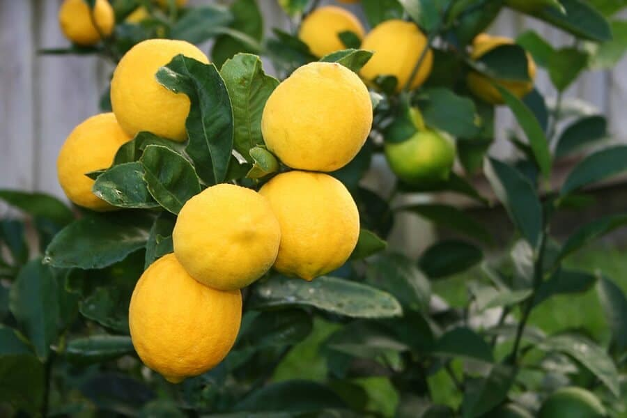 lemons growing in a tree