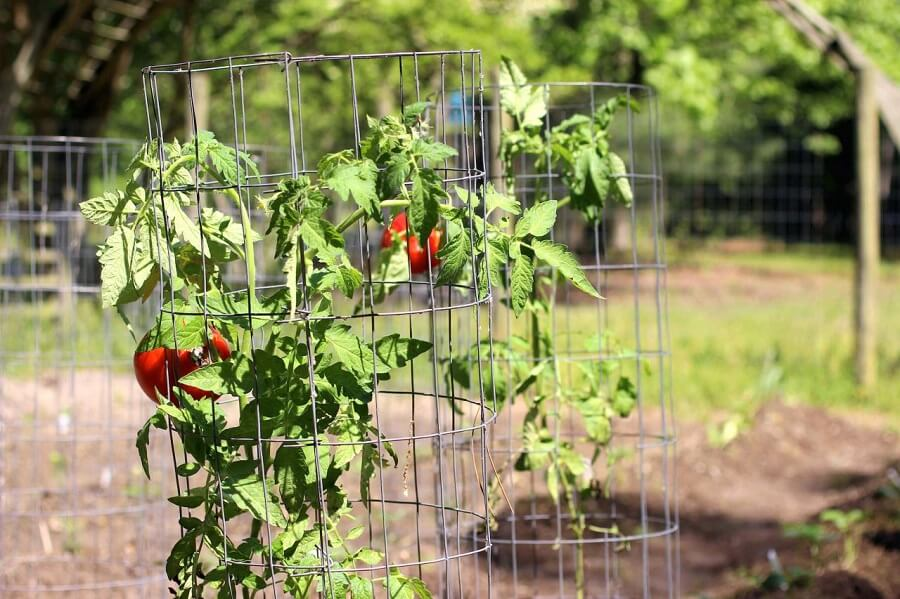 cages with tomatoes growing in them