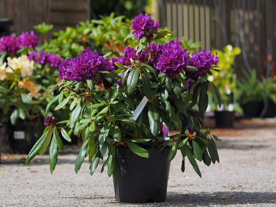 potted rhododendron plant