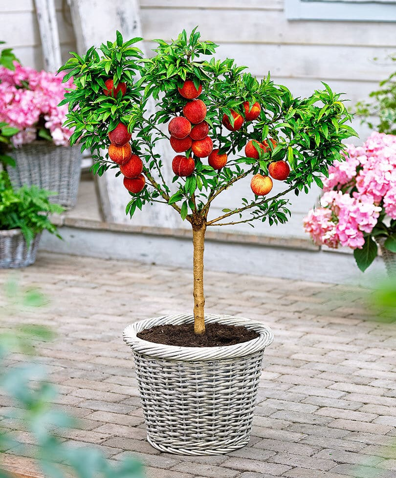 peach tree in a container