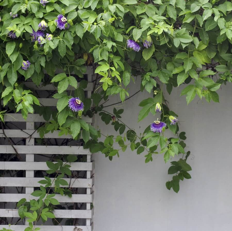 passion flower vine growing on a wooden frame