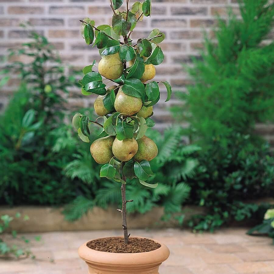pear tree in a container