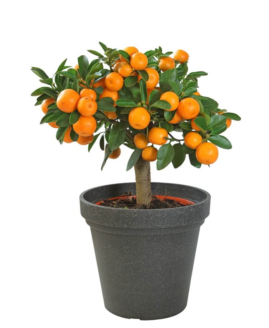 orange tree in a container