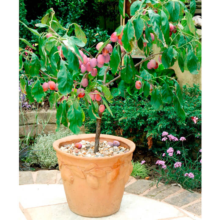 plum tree in a container