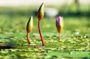 Water Lilies Sprouting on the Pond