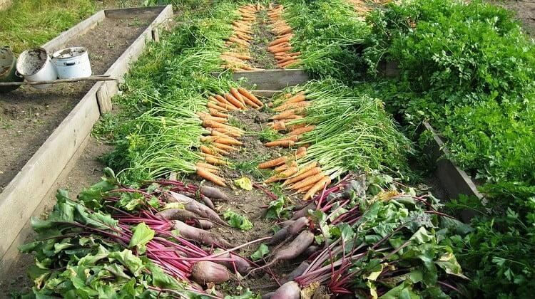 Freshly harvested vegetables in the garden
