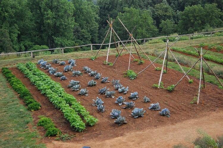 Rows Of Plants In Backyard Vegetable Garden