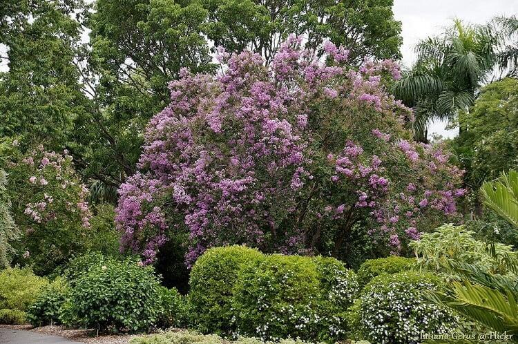 Crape myrtle tree with purple flowers