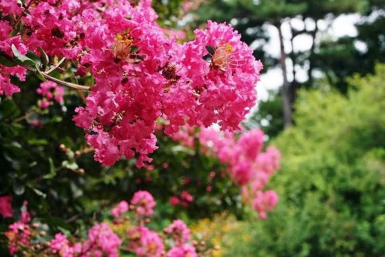 Crape myrtle tree with pink flowers