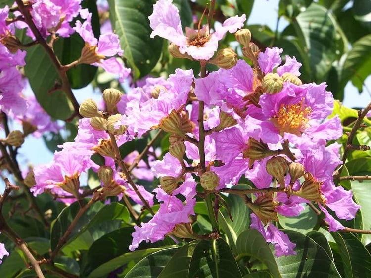 Purple crape myrtle tree flowers