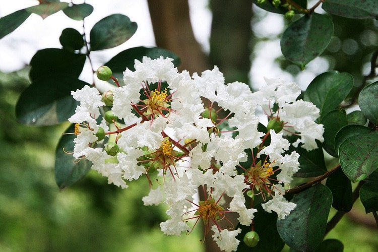 Crape myrtle tree with white flowers