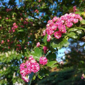 hawthorn plant flowers