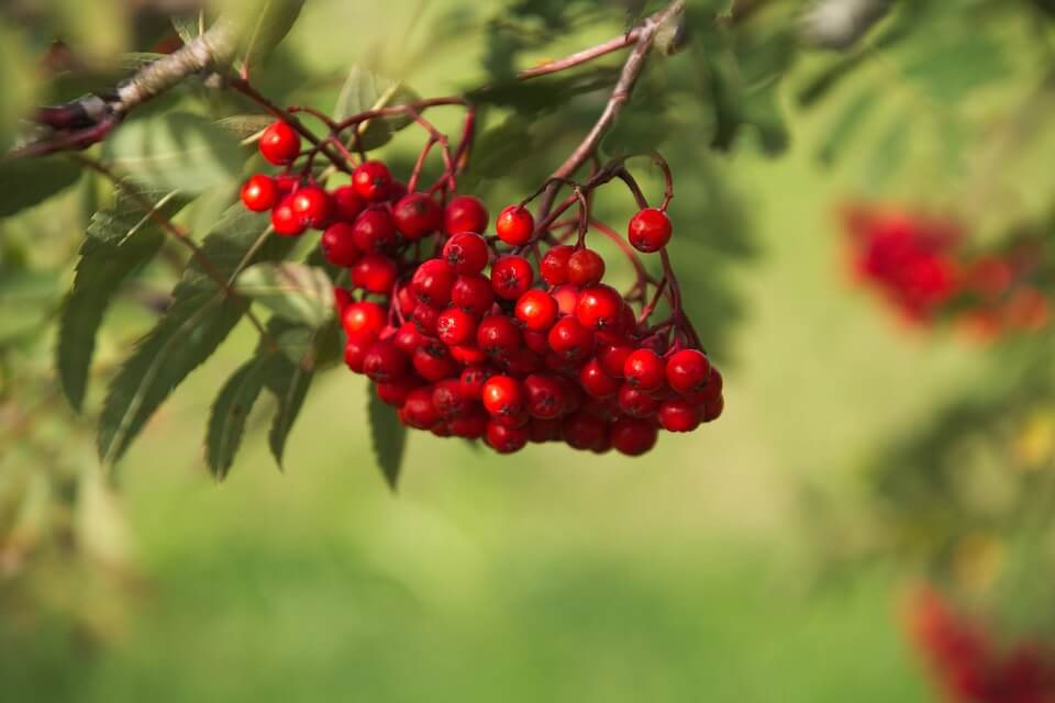hawthorn red berries
