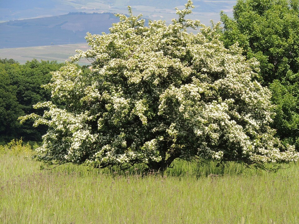 Blooming hawthorn tree