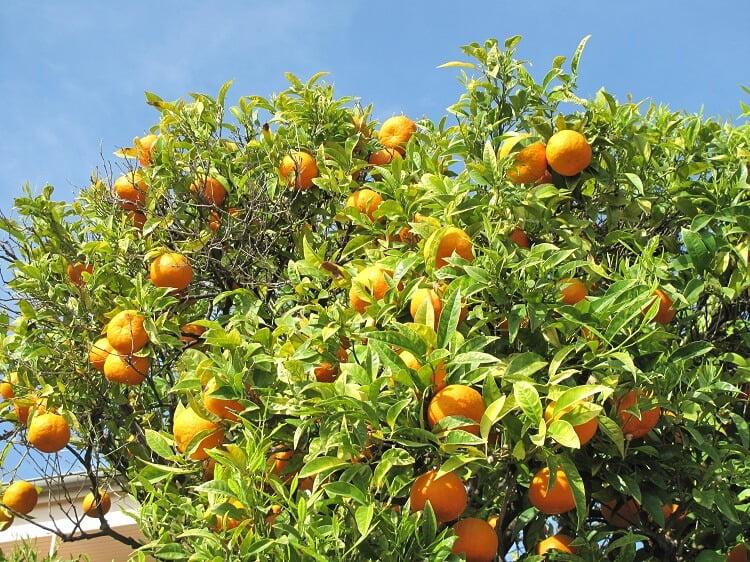 Loaded orange tree in the sun