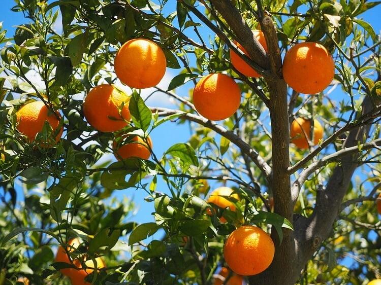 Oranges in a tree in sunlight