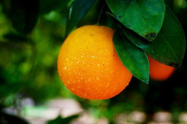 Orange hidden among leaves