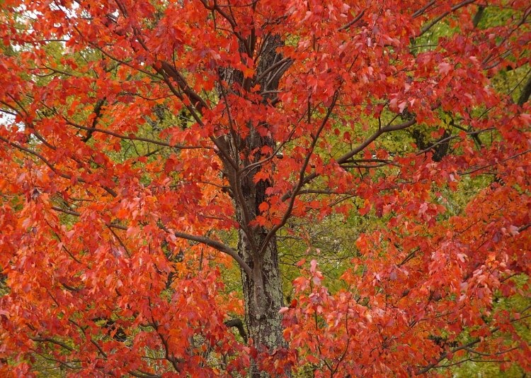 Red maple tree with red foliage