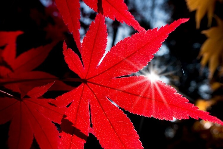 Red maple tree single leaf