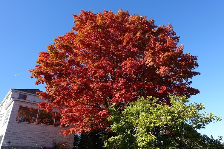 Tall red maple tree