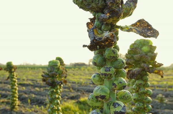 how to grow brussel sprouts harvesting