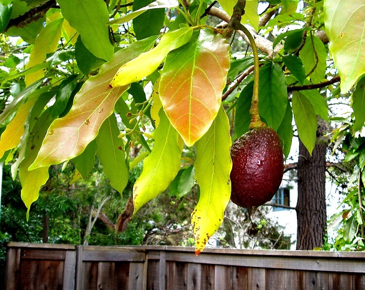 Avocado trees with leaves and fruit above a fence