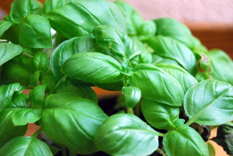 Basil leaves in the light
