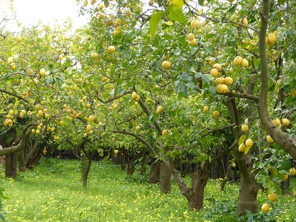 orchard of lemon trees