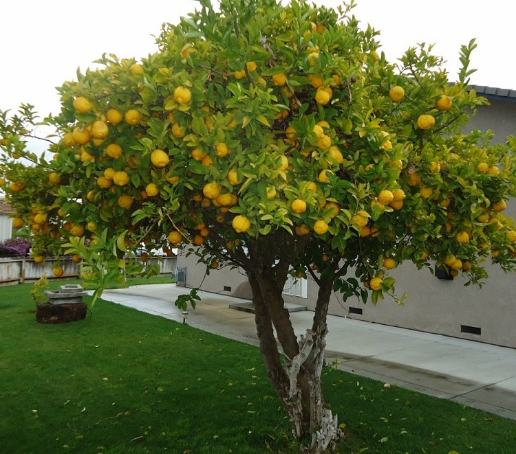 lemon tree in yard