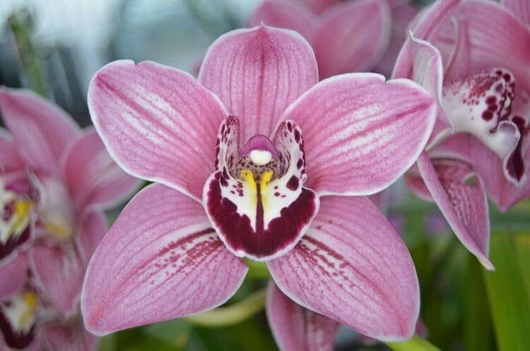 Close up of a violet orchid center