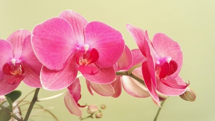 Close up of a pink delicate orchid flower