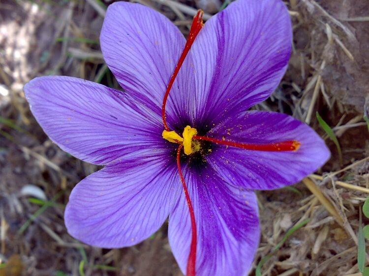 Saffran open flower seen from above