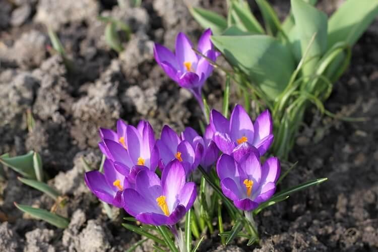Saffran purple flowers