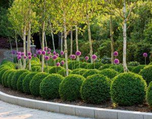Boxwood Topiary with Giant Alliums