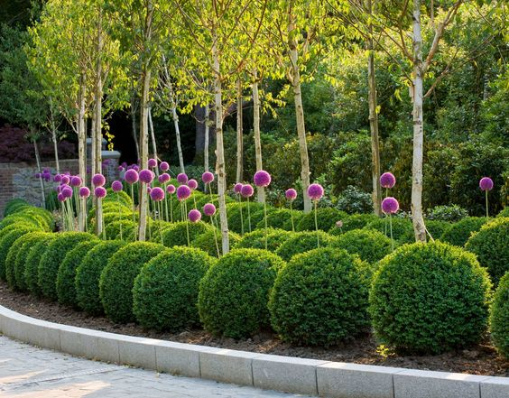 Boxwood Topiary with Giant Alliums