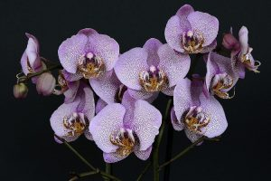 Seven white orchid flowers with tiny purple spots on them
