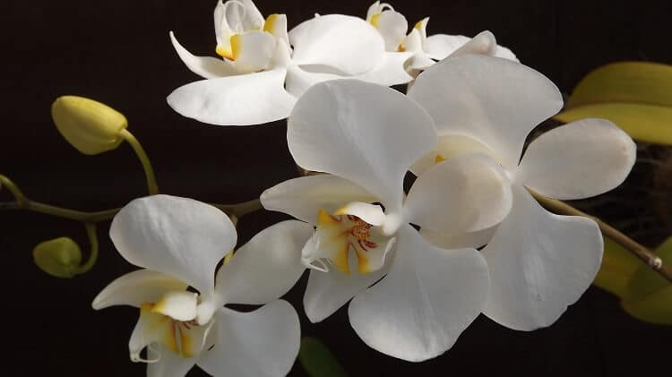 Three white orchid flowers in the foreground