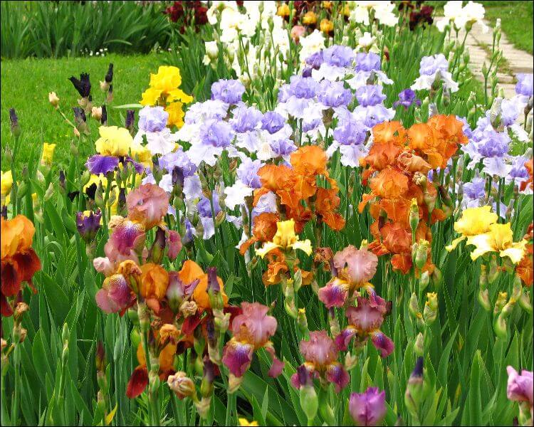Colorful bunch of irises