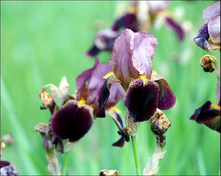 Garden irises in burgundy
