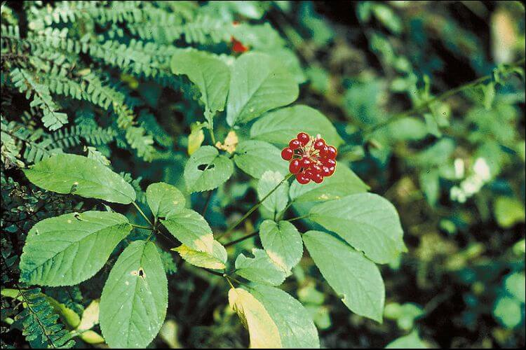 Ginseng red berries growing in the wild among green leaves