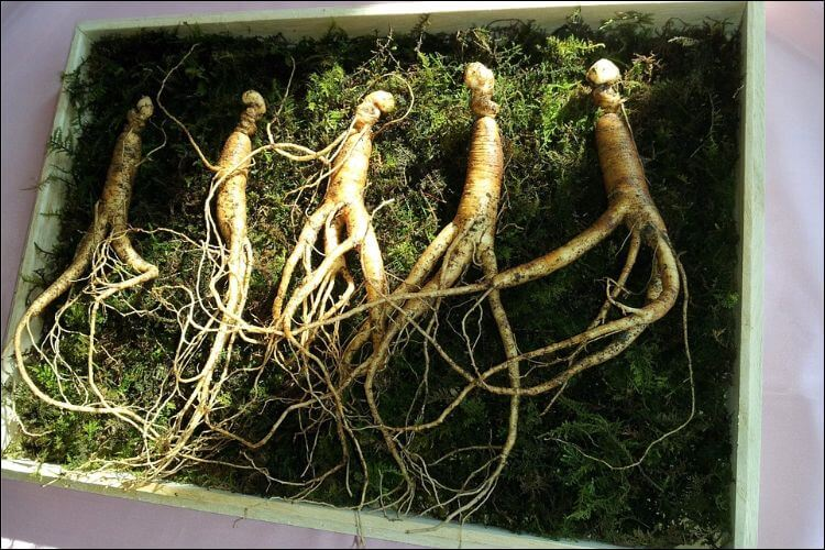 Four ginseng roots placed in soil in a framed bed