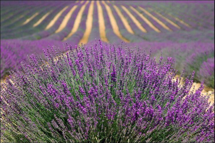 View of a huge field of lavender