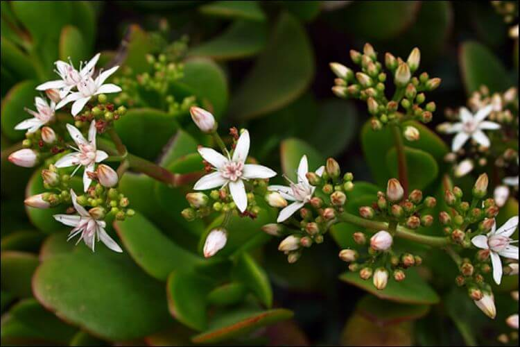 Jade plant with white flowers in a bunch