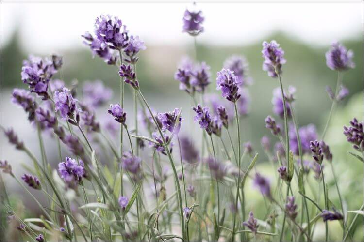 Close up of lavender flowers on a field