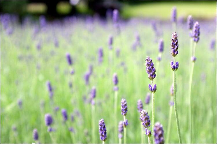 Focus on lavender flowers on a field