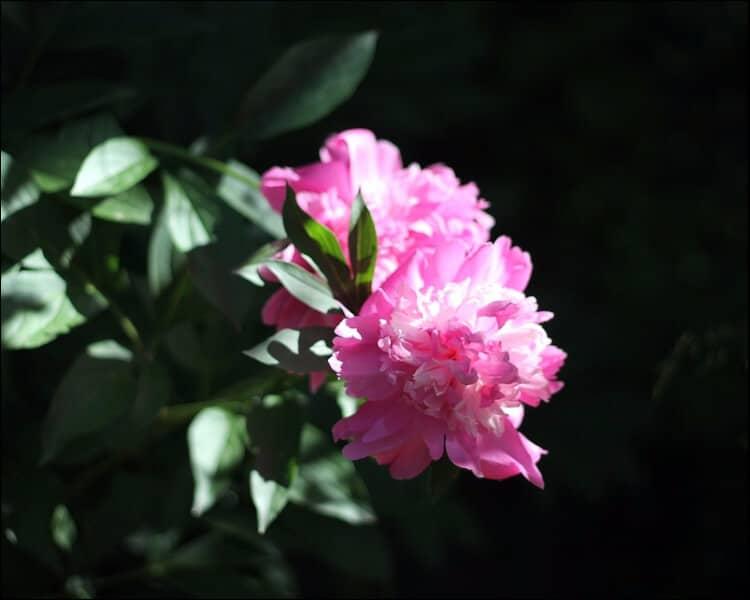Pink peony flower seen sideways